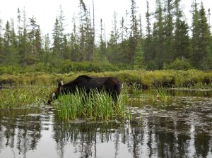 Our friendly female moose on the Amable du Fond river in Algonquin